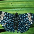 Stock Photo: Blue Cracker Butterfly