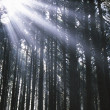 Stock Photo: Sunbeams Through Silhouetted Pine Trees