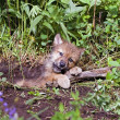 Wolf Cub At Den — Stock Photo #31722999