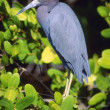 Stock Photo: Little Blue Heron