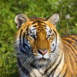 Tigress — Stock Photo #31723073
