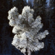 Heavy Frost On Ponderosa Pine Tree — Stock Photo