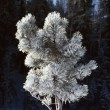 Stock Photo: Heavy Frost On Ponderosa Pine Tree