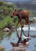 Moose Calf Walking In Stream — Foto Stock