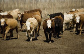 Cattle In Corral — Stock Photo