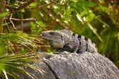 Iguana Sunning Itself On A Rock — Foto Stock