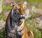 Tiger Watching — Stock Photo