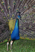 Peacock With Plumage — Foto Stock