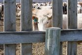 Corralled Cattle — Stockfoto