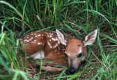 White-Tailed Fawn Curled Up In Grass — Stock Photo