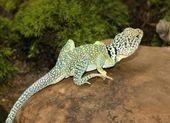 Collared Lizard On Rock — Stock Photo