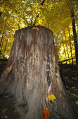 Large Tree Stump In Autumn — Stock Photo