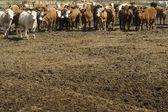 Herd Of Cattle — Stock Photo