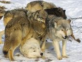 Wolf Pack Interaction — Stock Photo