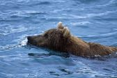 Grizzly Bear Swimming — Stock Photo