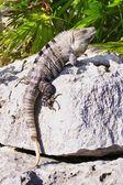 Iguana Clinging To A Rock — Foto Stock