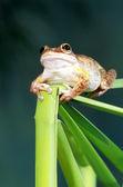 Cuban Tree Frog — Stock Photo