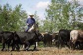 Rounding Up Cattle — Stock Photo