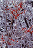 Ice On Branches With Red Berries, Detail, Intricate, Bright, Cold, Fragile, Bleak, Pattern, Glistening — Stock Photo