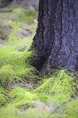 White Pine Seedlings — Stock Photo