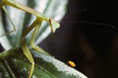 Praying Mantis And Aphid — 图库照片