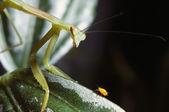 Praying Mantis And Aphid — Stock Photo