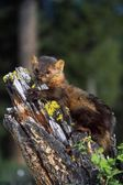 Marten (Martes Americana) On Mossy Tree Stump — Stock Photo