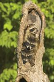 Raccoons In A Tree — Stock Photo