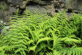 Hay Scented Fern — Stock Photo