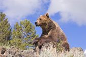 Grizzly Bear Looking Over Valley — Stock Photo