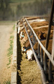 Cattle At Feeding Trough — Stock Photo