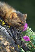 Marten (Martes Americana) Smelling Flower — Stock Photo