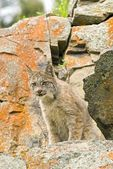 Young Canadian Lynx On Rock Ledge — Stockfoto