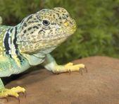 Collared Lizard — Stock Photo