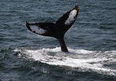 Humpback Whale Flukes — Stock Photo