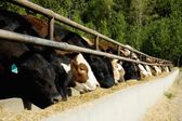 Cattle Feeding — Stock Photo