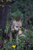Fiore annusando giallo cucciolo di lupo — Foto Stock