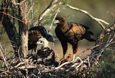 Harris Hawk At Nest With Young — Stock Photo
