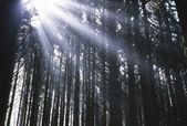 Sunbeams Through Silhouetted Pine Trees — 图库照片
