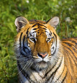 Tigress — Stock Photo
