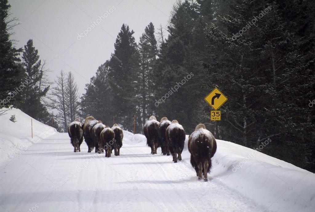 Bisonti americani sulla strada coperta di neve parco for Piani di coperta 16x20