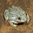 A Plains Spadefoot Toad Sitting On The Road — Stock Photo