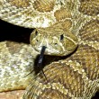 A Prairie Rattlesnake Flicking Its Tongue — Stock Photo #31755311