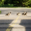 Young Geese Crossing A Road — Stock Photo #31756089