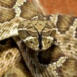 A Prairie Rattlesnake, Crotalus Viridis Viridis, In A Threat Display — Stock Photo