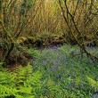 Stock Photo: Hazel Coppice And Bluebells In Ireland