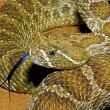 Stock Photo: Prairie Rattlesnake, Crotalus Viridis, Flicking It's Tongue