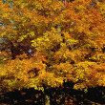 Autumn Tree — Stock Photo