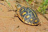 Juvenile Ornate Box Turtle Basking In A Canyon, Garza County, Texas, U.S.A — Foto de Stock