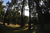 Towering Cedar Trees In Beacon Hill Park — Stock Photo